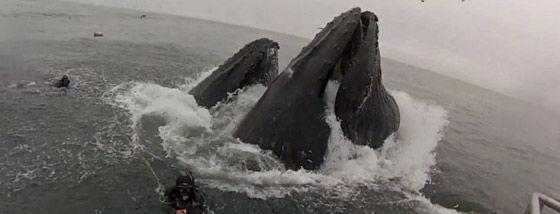 ザトウクジラに食べられそうになるダイバー