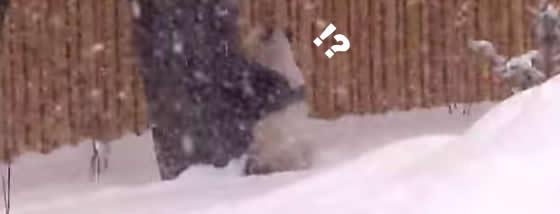 雪で超テンションが上がるパンダ