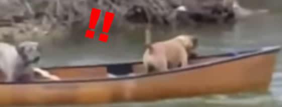 流されたボートの上にいる2匹の犬を救助する犬