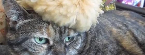 太ったひよこが猫の頭の上に座っているシュールさ