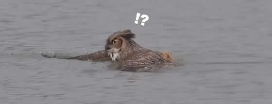 フクロウが泳いでいる!?
