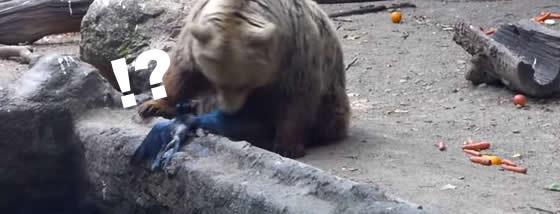 熊が溺れているカラスを救う奇跡