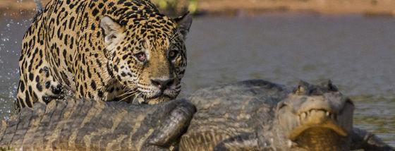ジャガーがワニの背後から襲いかかる