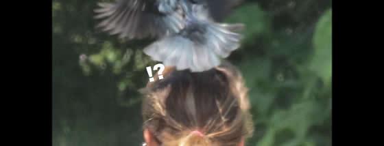 人の頭にちょっかいを出すクロウタドリ