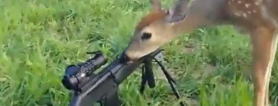 恐れを知らぬバンビは銃を舐める