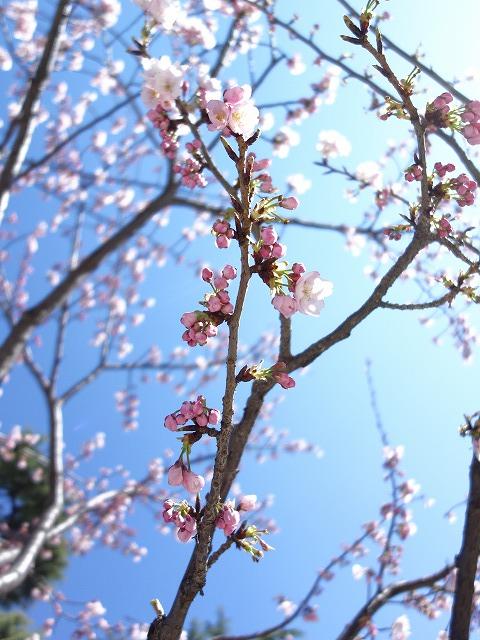 首都圏は桜ラッシュですが……