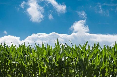 corn-field-440338__340