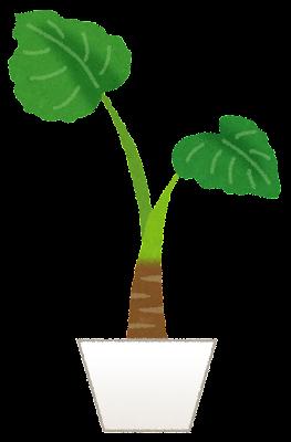plant_kuwazuimo