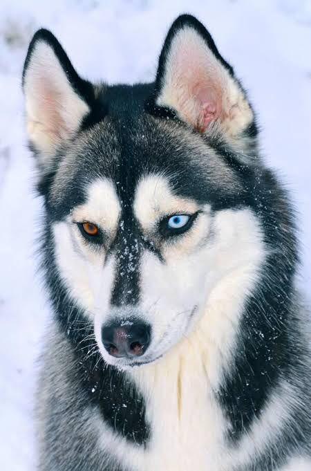 シベリアンハスキーとかいう地球上で最も格好良い犬