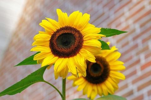 sunflower-448654__480