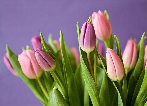 tulips-320151__340