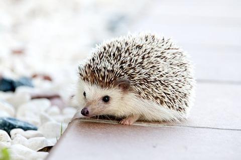 hedgehog-468228__340