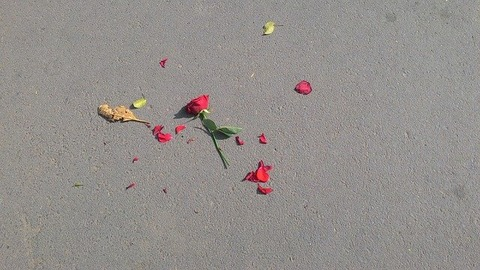 rose-640443_640