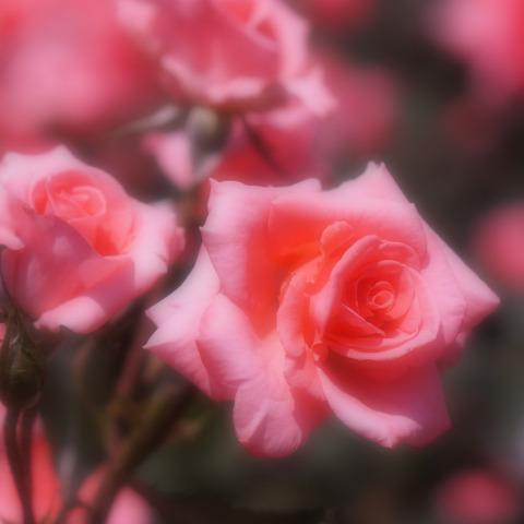 FLOWER_ROSE-5