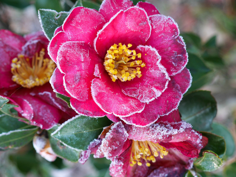 FROZEN_FLOWER-1