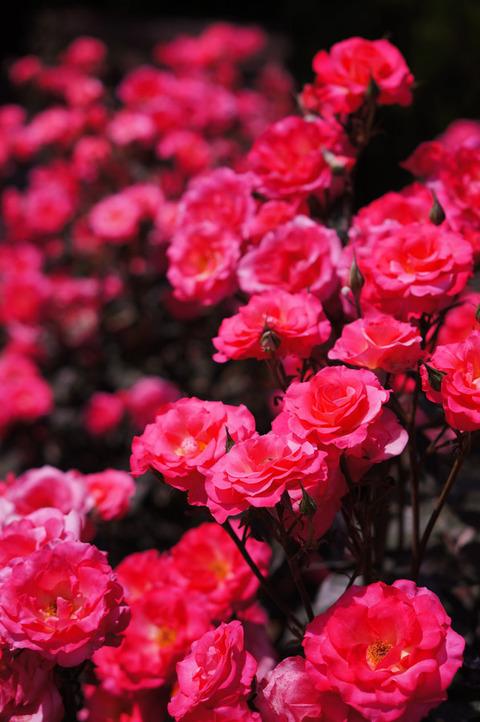 FLOWER_ROSE-4