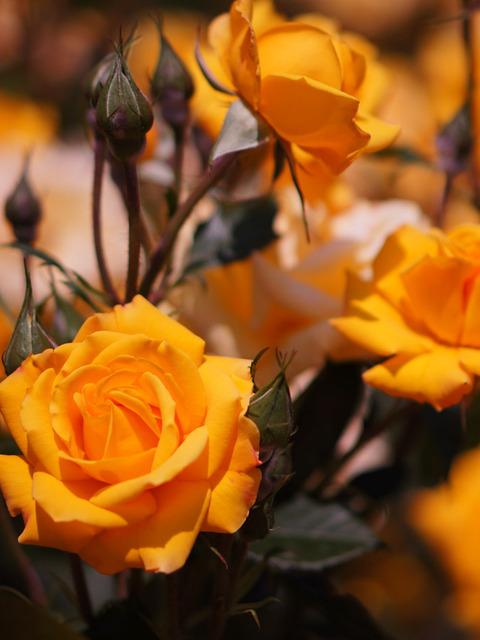 FLOWER_ROSE-6
