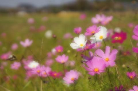 Asuka_flowers-5