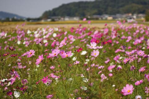 Asuka_flowers-6