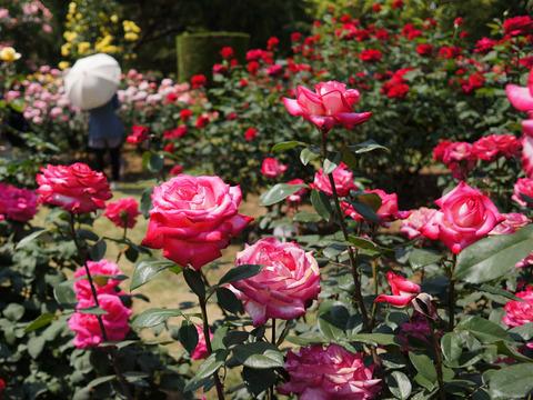 FLOWER_ROSE-1