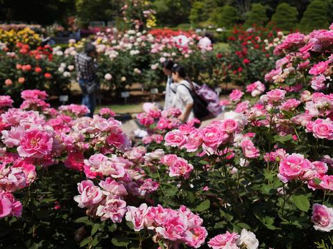 FLOWER_ROSE-2