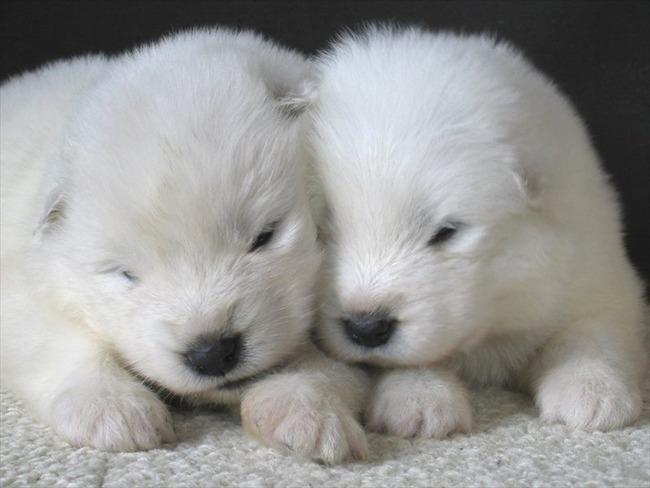 かわいい子犬画像97