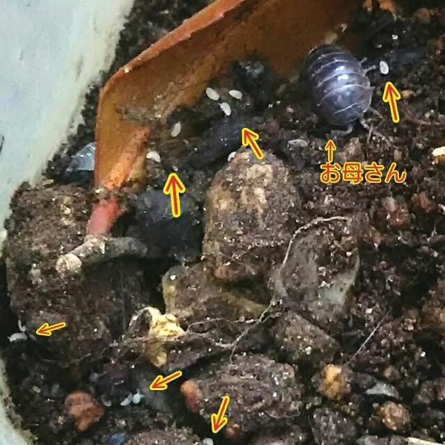 出産 ダンゴムシ