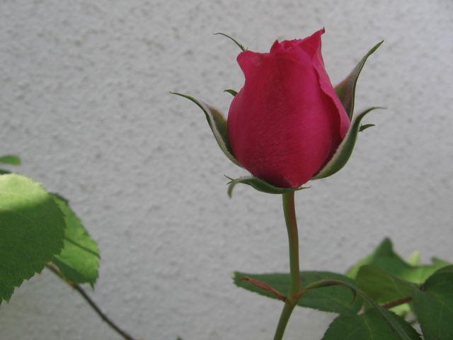薔薇のつぼみ : お伊勢さんと花...