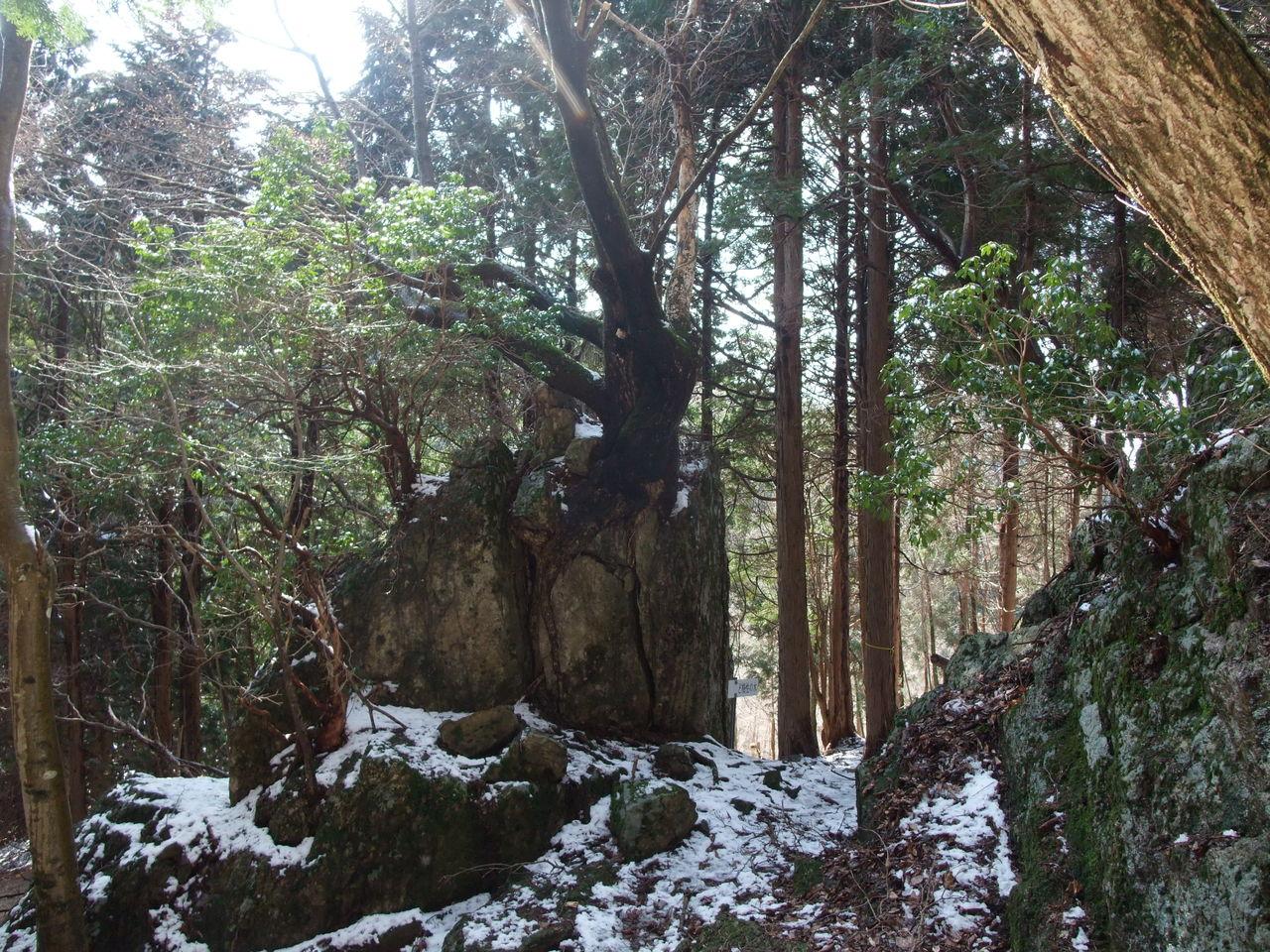 三辻山 縦走路 ど根性の木 黒滝