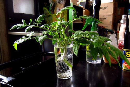 2020年07月08日(水)・・・トマトの挿し木を定植