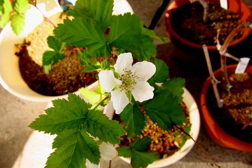 2017年05月17日(水)・・・ブラックベリー、開花