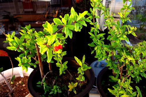 2020年06月25日(木)・・・2015ザクロの挿し木、また開花
