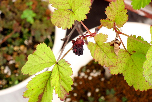 2020年07月09日(木)・・・ブラックベリーの種まき