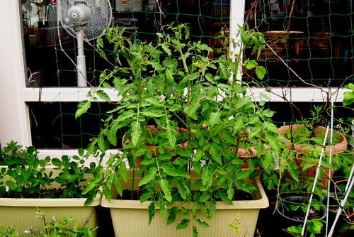 2020年07月07日(火)・・・トマトの苗、0707