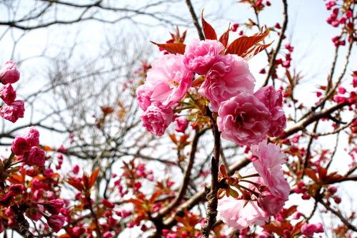 2017年04月20日(木)・・・桃の花、0420