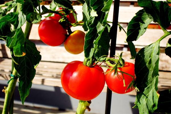 2020年08月12日(水)・・・トマト、初収穫