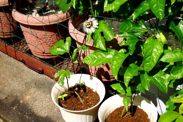 2020年08月10日(月)・・・2015パッションフルーツの挿し木、開花