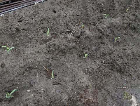 2020-05-10 トウモロコシ植え付け