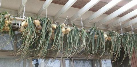 2021-03-28 吊りタマネギ