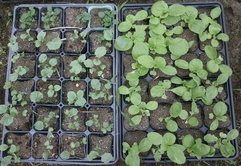 2020-09-20 白菜 ブロッコリー
