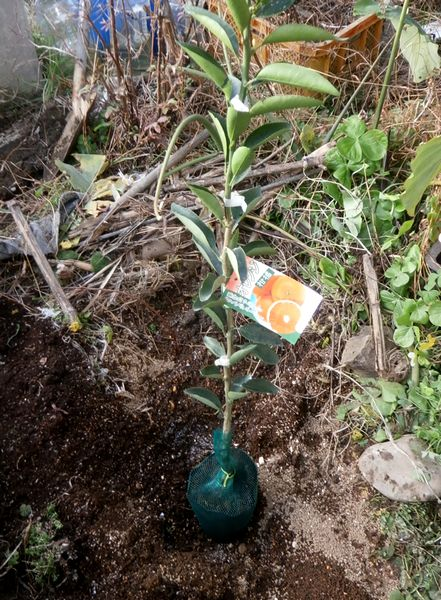 2019-12-15 柑橘 あすみ植え付け