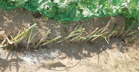 2021-05-03 九条葱植え付け