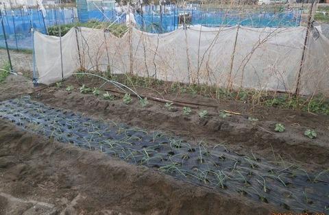 2019-12-08 晩生玉葱植え付け