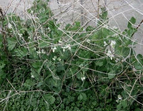 2020-01-26 早生エンドウの花