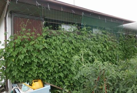 2019-07-21 グリーンカーテン