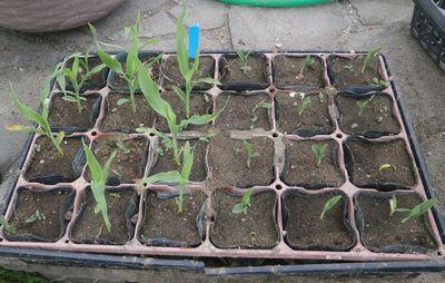 2020-08-09 トウモロコシ発芽