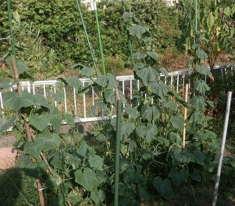 2020-08-23 キュウリ初収穫