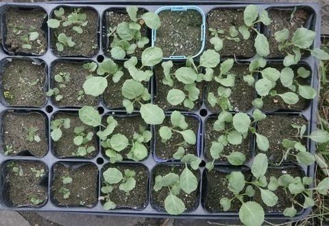 2020-09-20 白菜 キャベツ