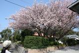 みごとな桜
