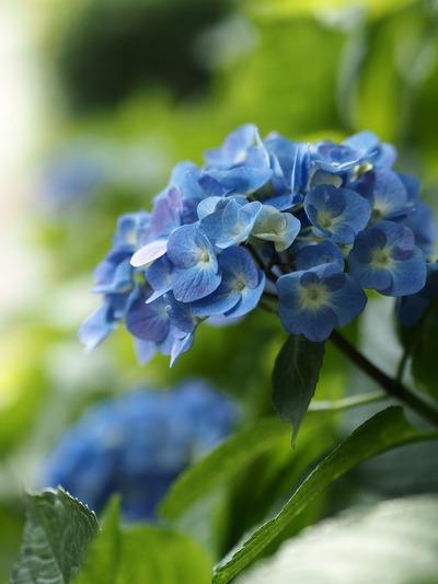青のアジサイ。